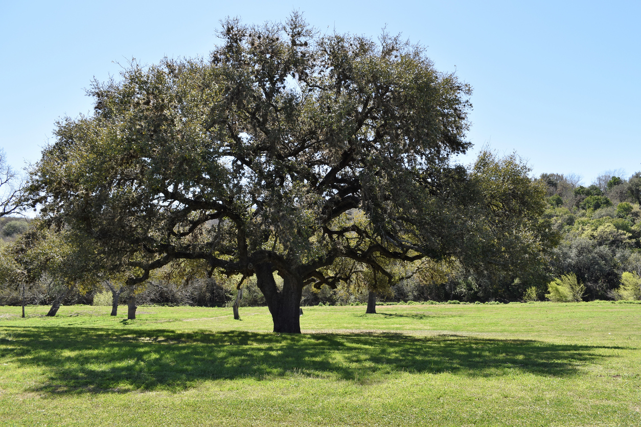 How To Plant a Live Oak Tree in Texas